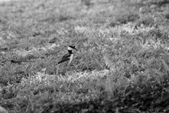 在草的幼小双胸斑沙鸟鸟,黑白 免版税库存图片