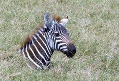 在草的幼小斑马 逗人喜爱! 库存图片