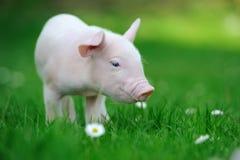 在草的幼小猪 库存照片