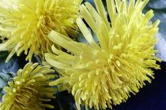 在草的开花的蒲公英 免版税图库摄影