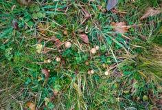 在草的引起幻觉的蘑菇在领域 免版税图库摄影