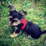 在草的微小的狗 图库摄影
