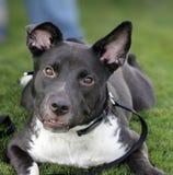 在草的微笑的狗 库存图片
