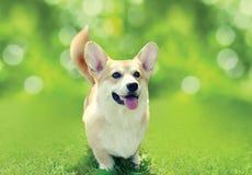 在草的愉快的狗威尔士小狗彭布罗克角在晴朗的夏日 免版税库存图片