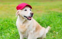 在草的愉快的金毛猎犬狗在棒球帽 免版税库存照片