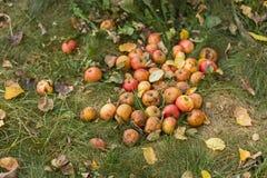 在草的成熟水多的甜苹果在庭院里在秋天 库存照片