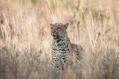 在草的担任主角的豹子 图库摄影