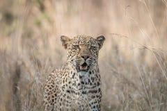 在草的担任主角的豹子 免版税库存照片