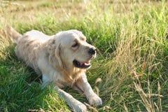 在草的拉布拉多狗 库存图片