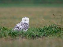 在草的斯诺伊猫头鹰 图库摄影