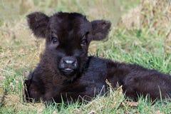 在草的新出生的黑苏格兰高地居民小牛 免版税库存照片