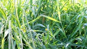 在草的新鲜的早晨露水 股票视频