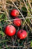 在草的新鲜的苹果 免版税库存照片