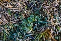 在草的早晨霜 库存照片