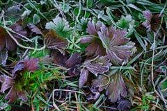 在草的早晨霜 免版税库存图片