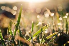 在草的早晨露水在阳光下 库存照片