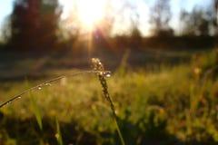 在草的早晨露水 库存图片