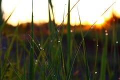 在草的早晨露水 库存照片