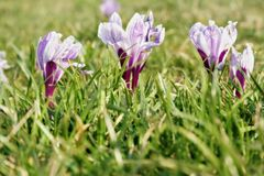 在草的春天花 免版税库存照片