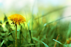 在草的春天蒲公英 免版税库存照片