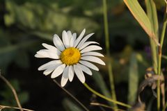 在草的春黄菊 库存照片