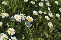 在草的春黄菊 免版税图库摄影