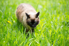 在草的暹罗猫与蓝眼睛 库存图片