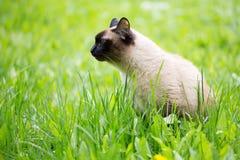 在草的暹罗猫与蓝眼睛 免版税库存照片