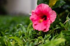 在草的木槿桃红色花 免版税图库摄影