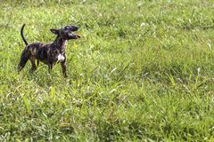 在草的杂种犬 免版税库存图片