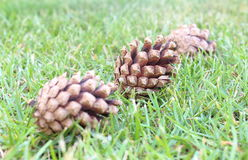 在草的杉木锥体 免版税库存照片