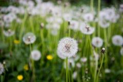 在草的柔滑的蒲公英头 免版税库存照片