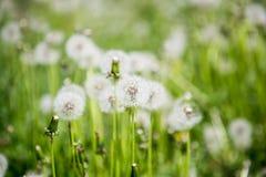 在草的柔滑的蒲公英头 库存照片