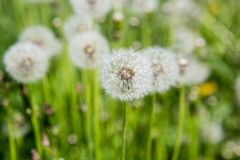 在草的柔滑的蒲公英头 免版税库存图片