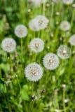 在草的柔滑的蒲公英头 图库摄影
