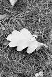 在草的橡木叶子 秋天背景特写镜头上色常春藤叶子橙红 黑白垂直的照片 库存照片