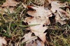 在草的橡木叶子 免版税库存照片