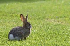 在草的欧洲的兔子 免版税库存照片