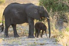 在草的母亲和婴孩大象 免版税库存照片