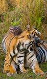 在草的母亲和崽野生孟加拉老虎 印度 17 2010年bandhavgarh bandhavgarth地区大象印度madhya行军国家公园pradesh乘驾umaria 中央邦 库存图片
