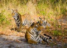 在草的母亲和崽野生孟加拉老虎 印度 17 2010年bandhavgarh bandhavgarth地区大象印度madhya行军国家公园pradesh乘驾umaria 中央邦 免版税库存照片