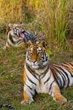在草的母亲和崽野生孟加拉老虎 印度 17 2010年bandhavgarh bandhavgarth地区大象印度madhya行军国家公园pradesh乘驾umaria 中央邦 图库摄影