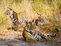 在草的母亲和崽野生孟加拉老虎 印度 17 2010年bandhavgarh bandhavgarth地区大象印度madhya行军国家公园pradesh乘驾umaria 中央邦 免版税库存图片