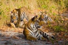 在草的母亲和崽野生孟加拉老虎 印度 17 2010年bandhavgarh bandhavgarth地区大象印度madhya行军国家公园pradesh乘驾umaria 中央邦 免版税图库摄影