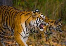 在草的母亲和崽野生孟加拉老虎 印度 17 2010年bandhavgarh bandhavgarth地区大象印度madhya行军国家公园pradesh乘驾umaria 中央邦 库存照片