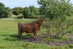 在草的母牛比草吃更多 免版税图库摄影