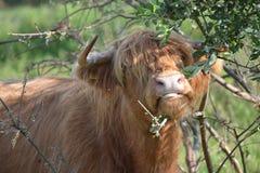 在草的母牛比草吃更多 免版税库存照片