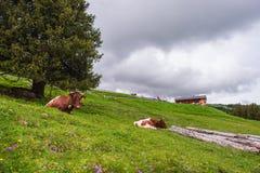 在草的母牛谎言 免版税库存图片