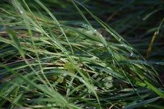 在草的水滴在雨以后 免版税库存图片
