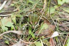 在草的池蛙特写镜头,在他的眼睛的反射 免版税图库摄影